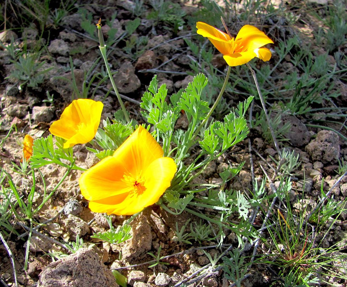Gold poppies in bloom