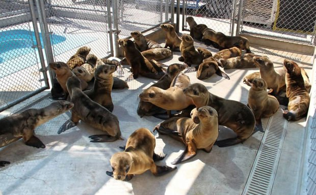 National news: Starving sea lion pups fill California rescue centers