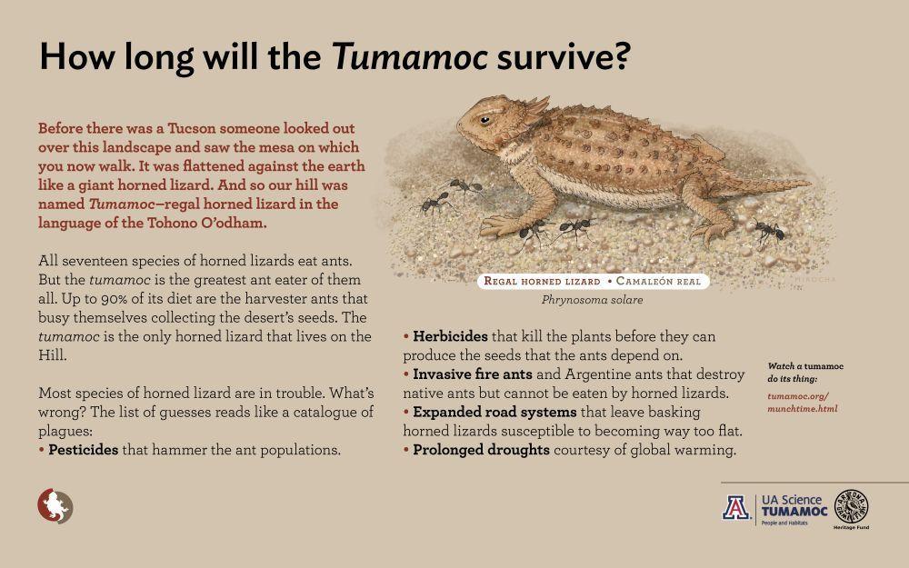 Tumamoc: the regal horned lizard