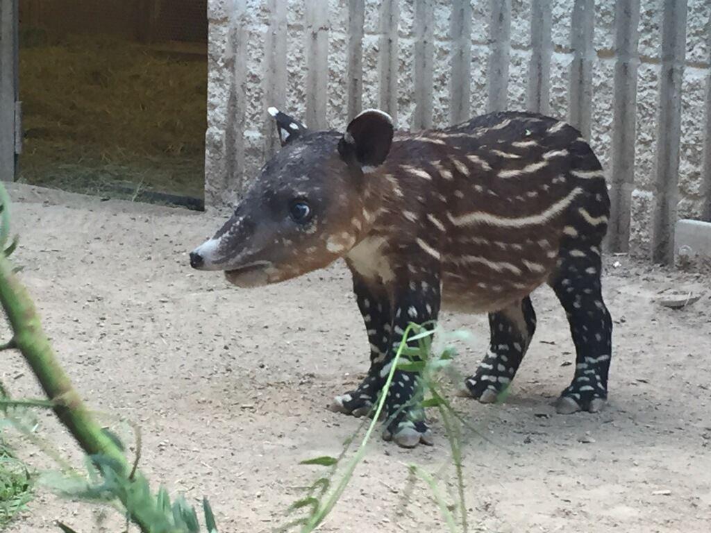 Baby Baird's tapir