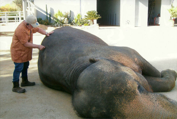 Veterinary chiropractors even help out elephants