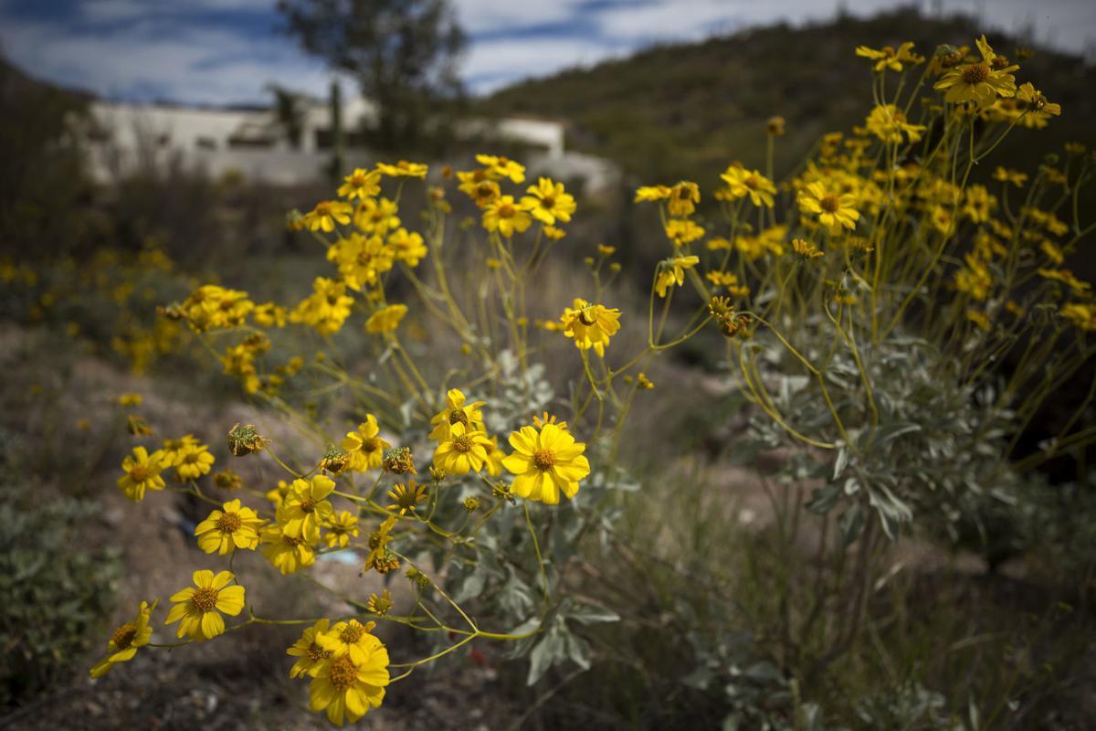 Wildflowers around Tucson, 2020