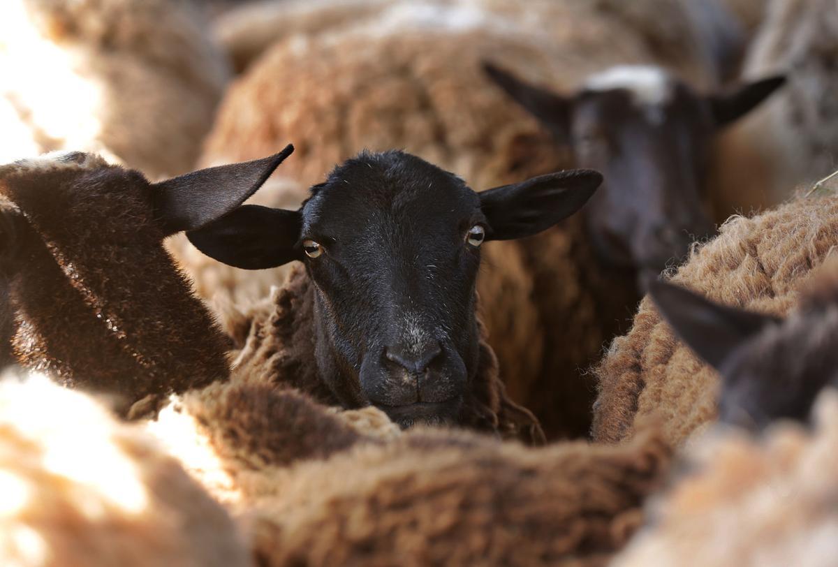 TEP sheep