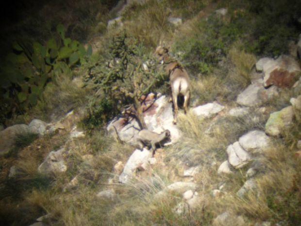 New bighorn lamb