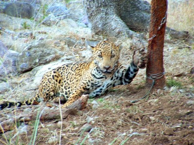 Capture of jaguar Macho B was intentional, federal investigators conclude