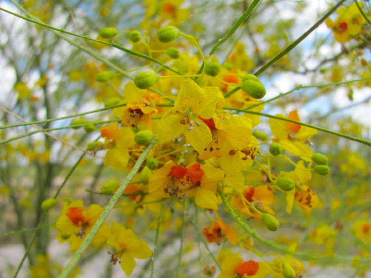 Palo verde blooms in June