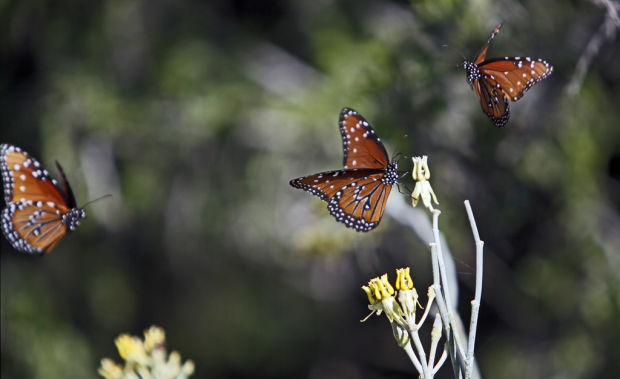 loews ventana canyon opens butterfly garden outdoors and events