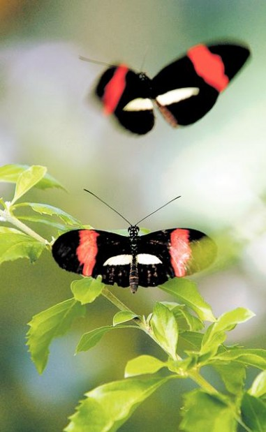 Exhibit At Tucson Botanical Gardens Features Hundreds Of Tropical Butterflies Tucson Gardens