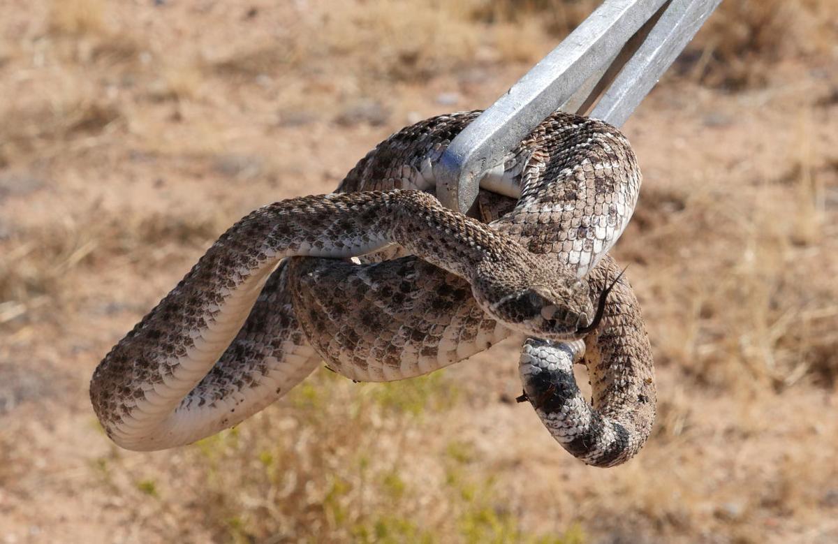 Rattlesnake relocation