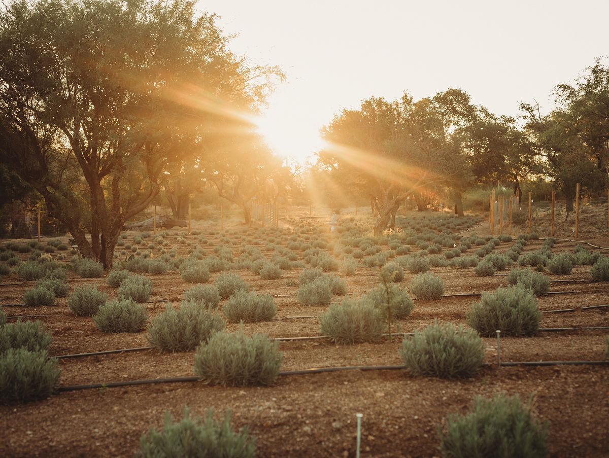 Life Under the Oaks Lavender Farm (LE)