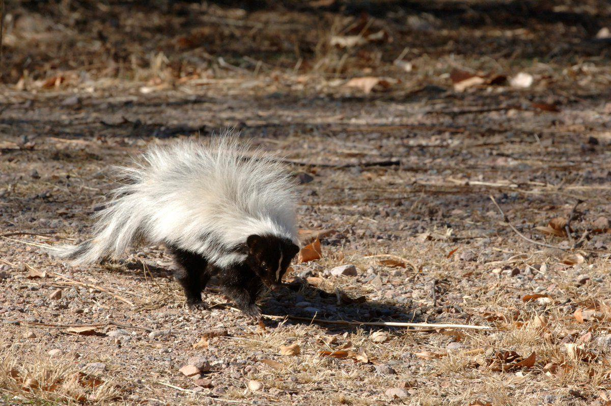 2 skunks test positive for rabies in Cochise County