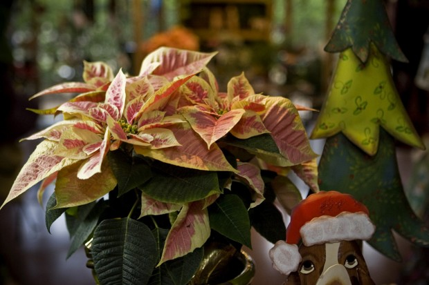 Poinsettias can keep yuletide warmth alive