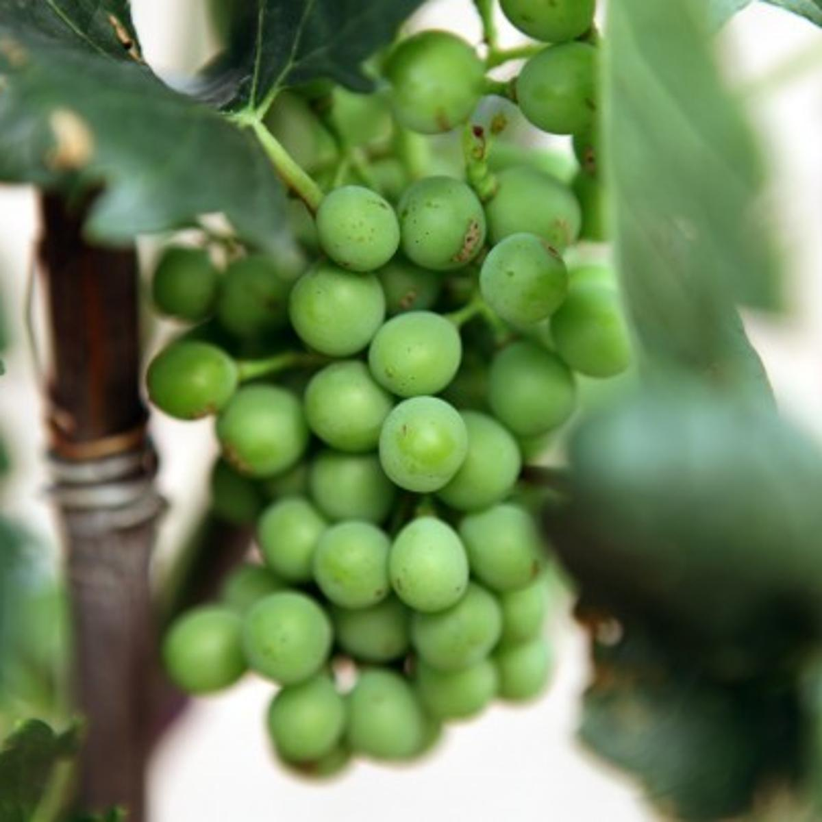 Southern Arizona Is Good Spot For Growing Grapes Tucson Com