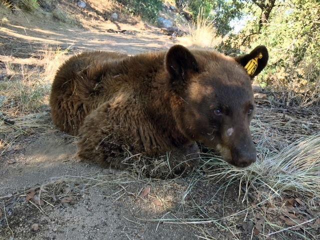 sightings of black bears spike in southern arizona local news
