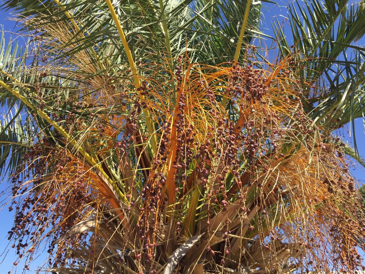 Garden sage: A saguaro could topple; ocotillo won\'t bloom   Home ...