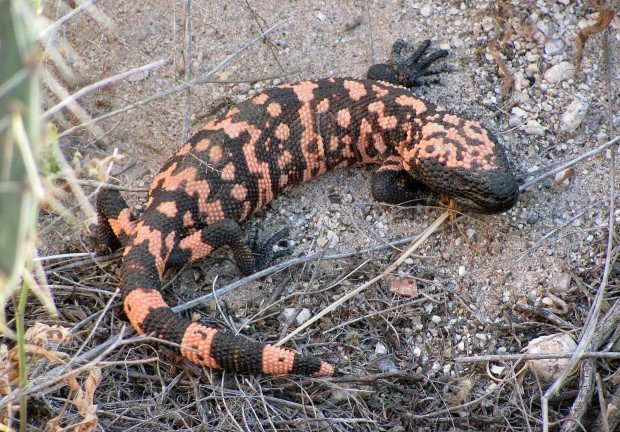 Gila monsters get their time in sun