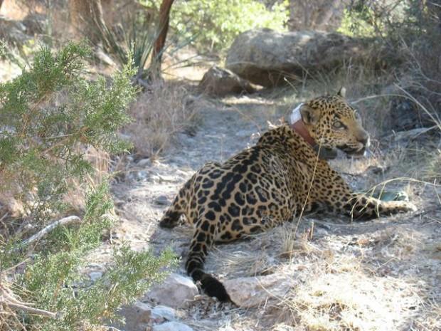 Jaguar caught near Tucson euthanized