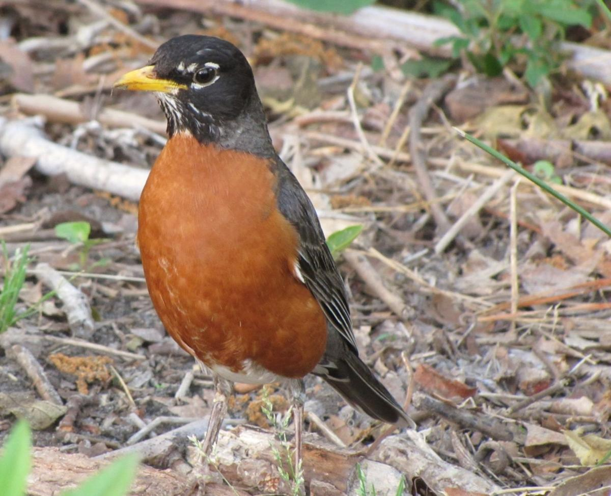 American-Robin-photo-Prudy-and-Bob-Bowers-.JPG