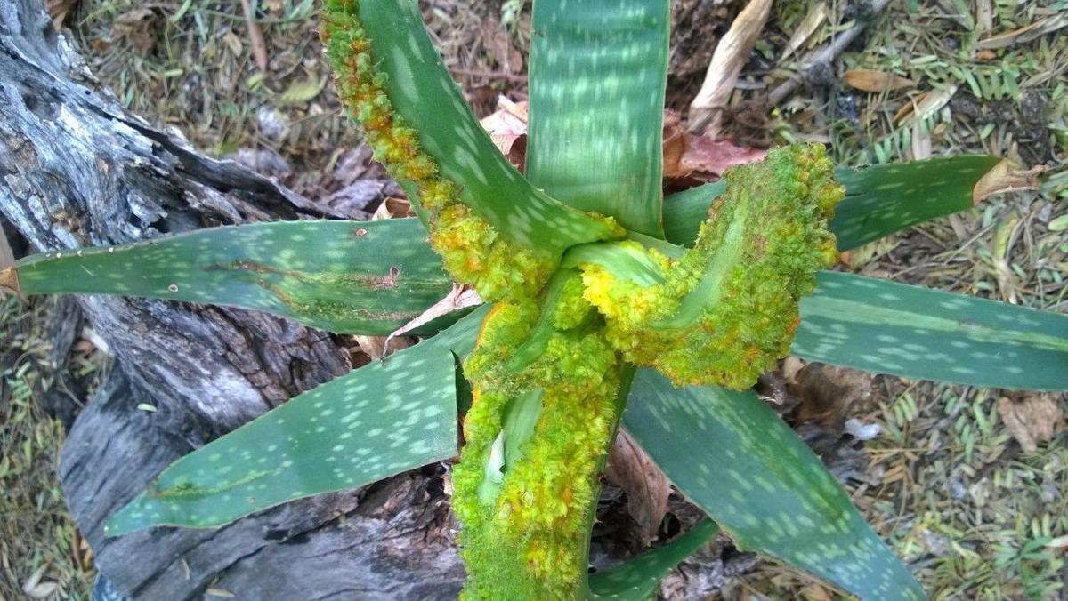 Aloe pests