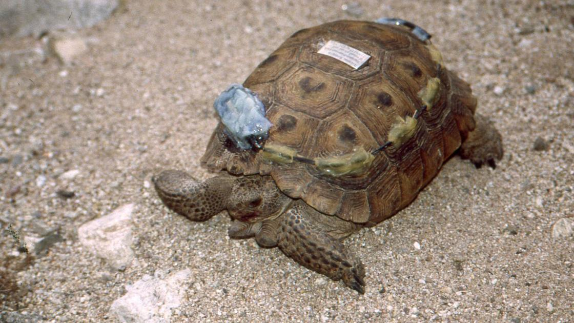 Experts say tortoise tale endures because Thelma still has something to teach us