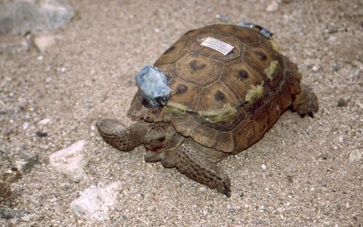 Thelma the tortoise