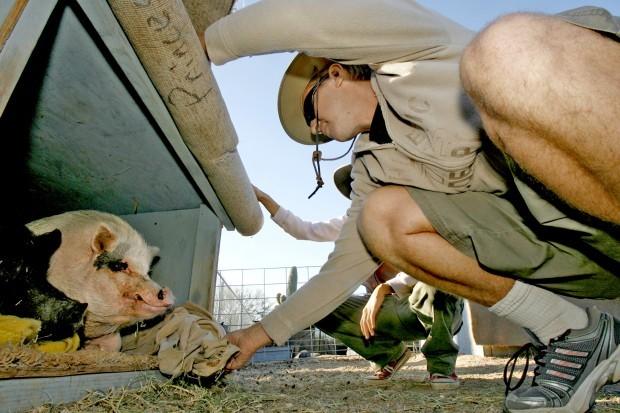 Photo Gallery Ironwood Pig Sanctuary Pets Tucson Com