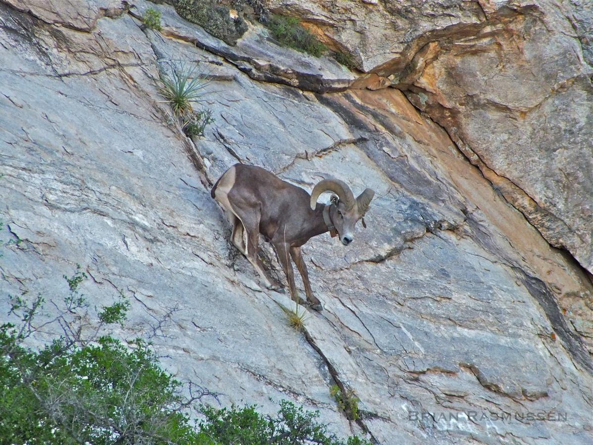 Mountain lion with kittens kills bighorn in catalina mountains near bighorn ram spiritdancerdesigns Choice Image