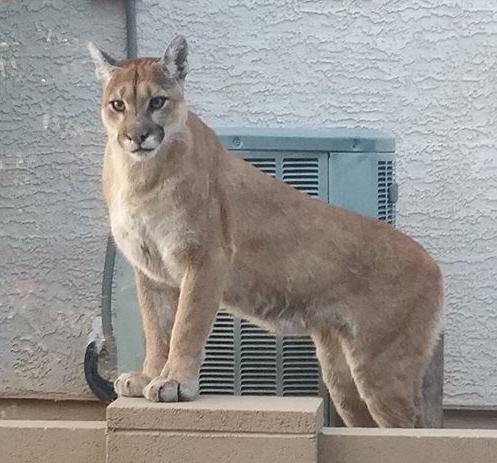 Mountain lion sighting