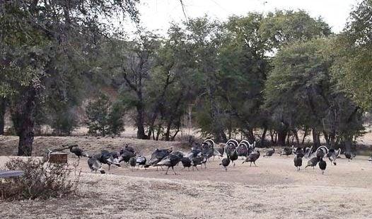 Gould's turkeys