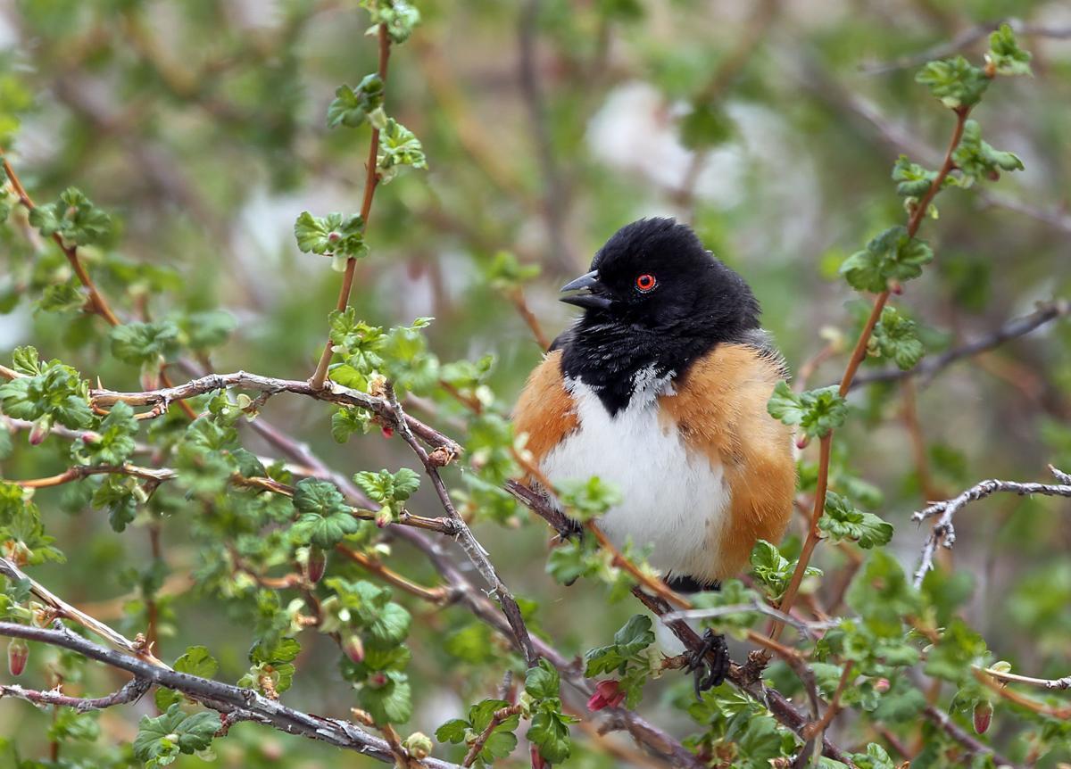 Birding the Santa Catalina Mountains