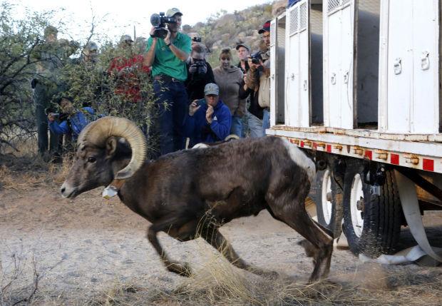 Bighorn sheep release