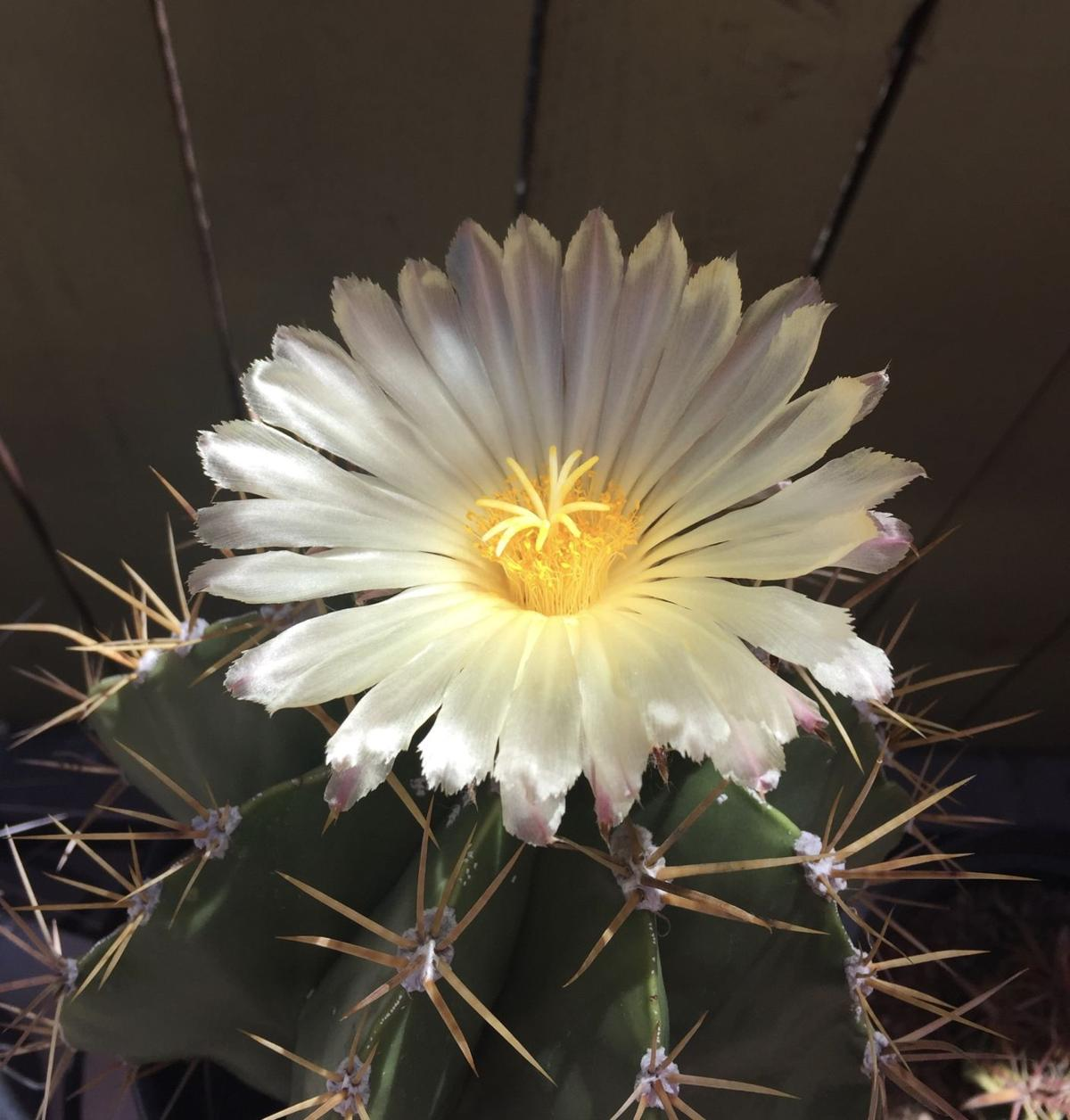These Photos Of Cactus Blooms Will Make You Fall In Love With Tucson
