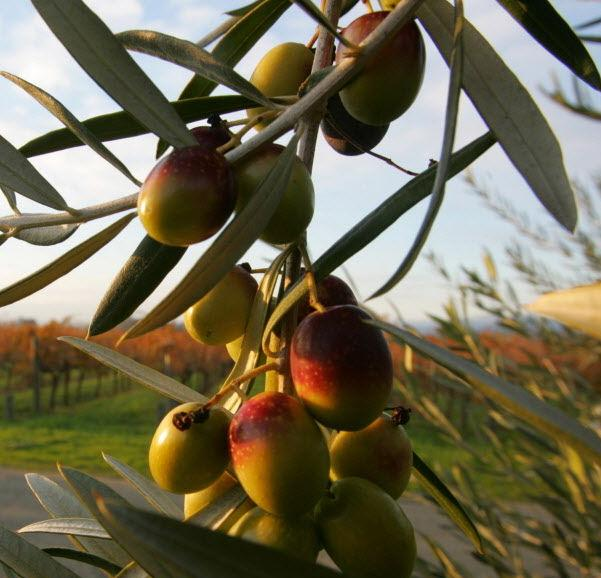 When to harvest olives and what to do with them | | tucson com