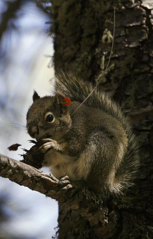 Mount Graham red squirrel makes comeback, but not out of the woods yet