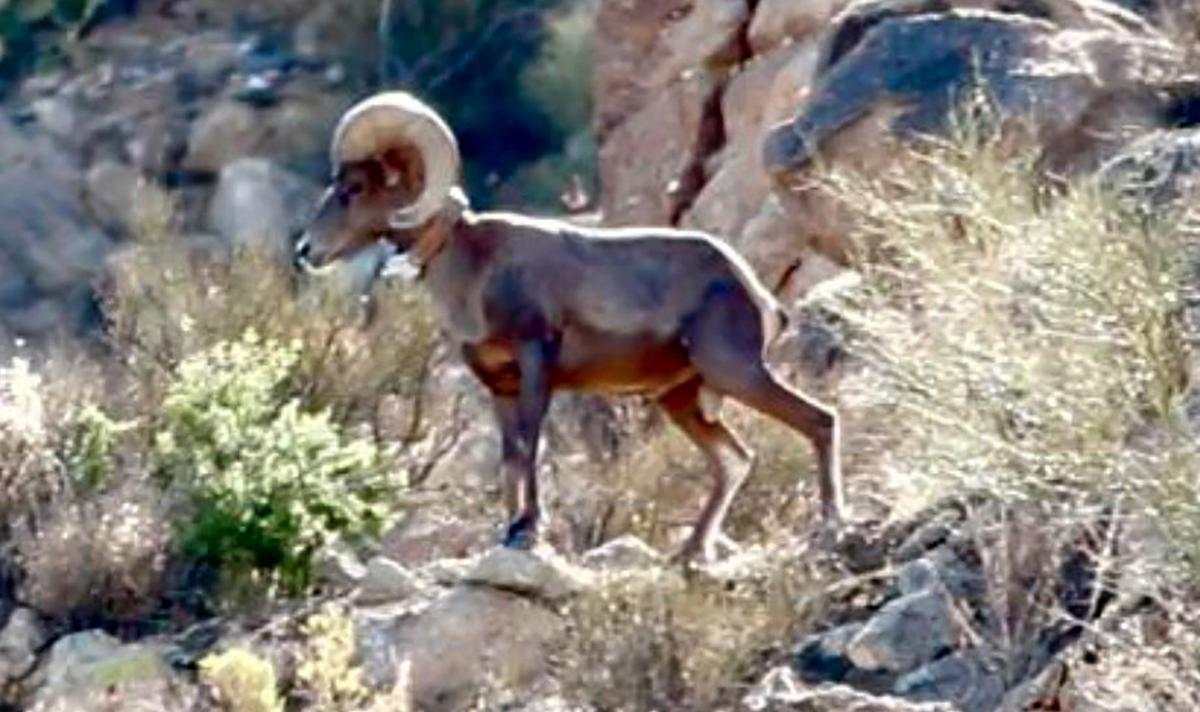 Bighorn sheep in Catalina Mountains