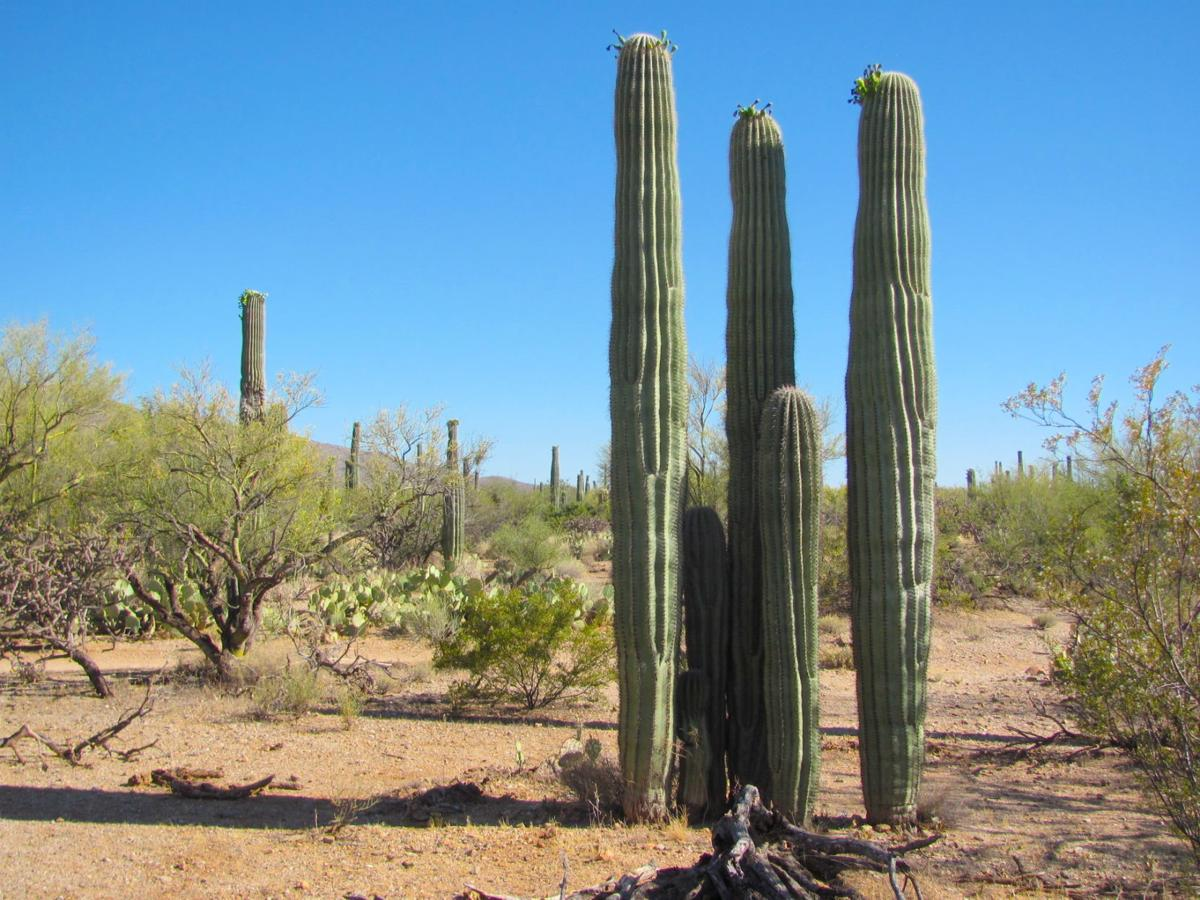 Saguaro cluster 2