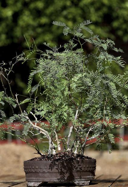Bonsai Takes On A Desert Twist In Tucson Home Garden Tucson Com