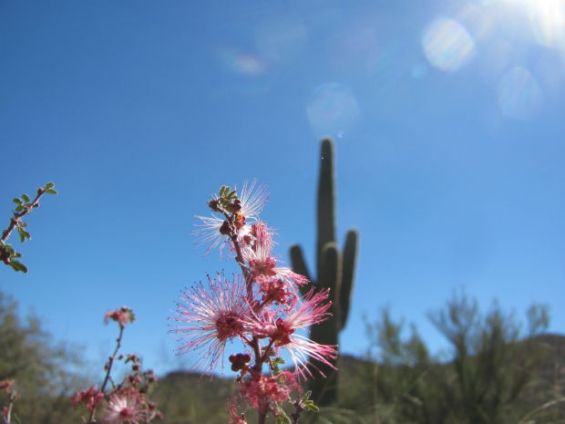 Fairy duster blooms