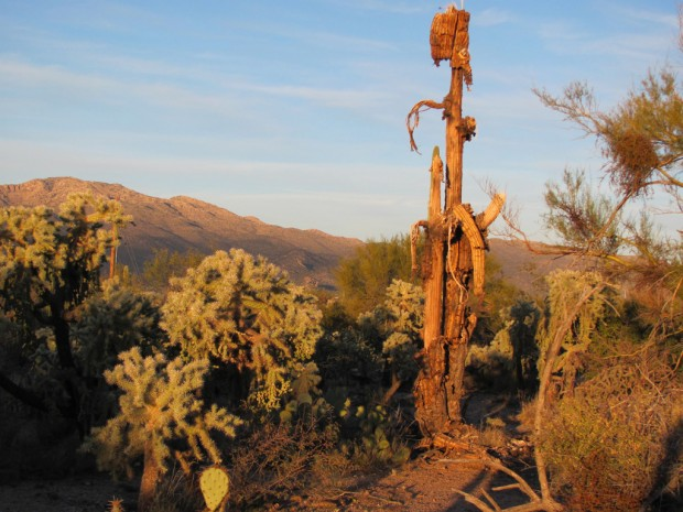Older saguaros are still paying a price after great freeze of 2011