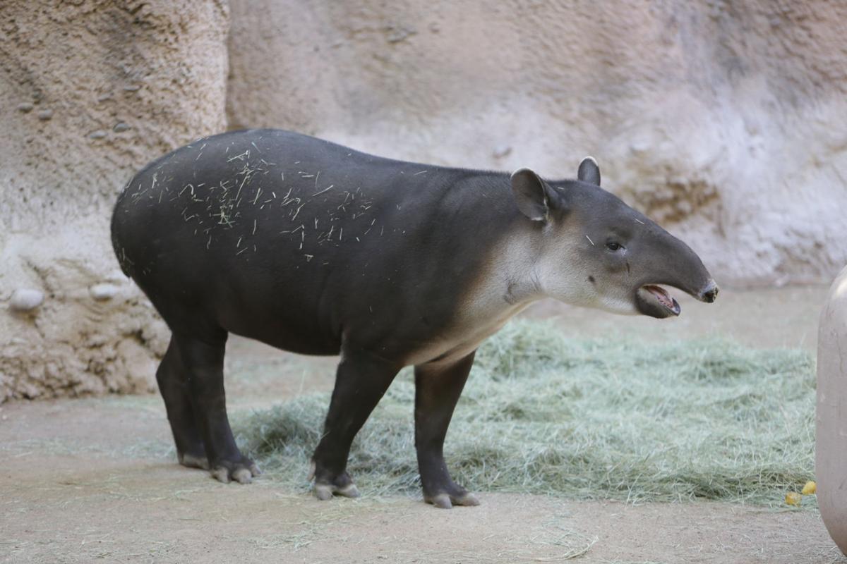 Nandi's Neighbors: Baird's Tapirs Toliver and Contessa