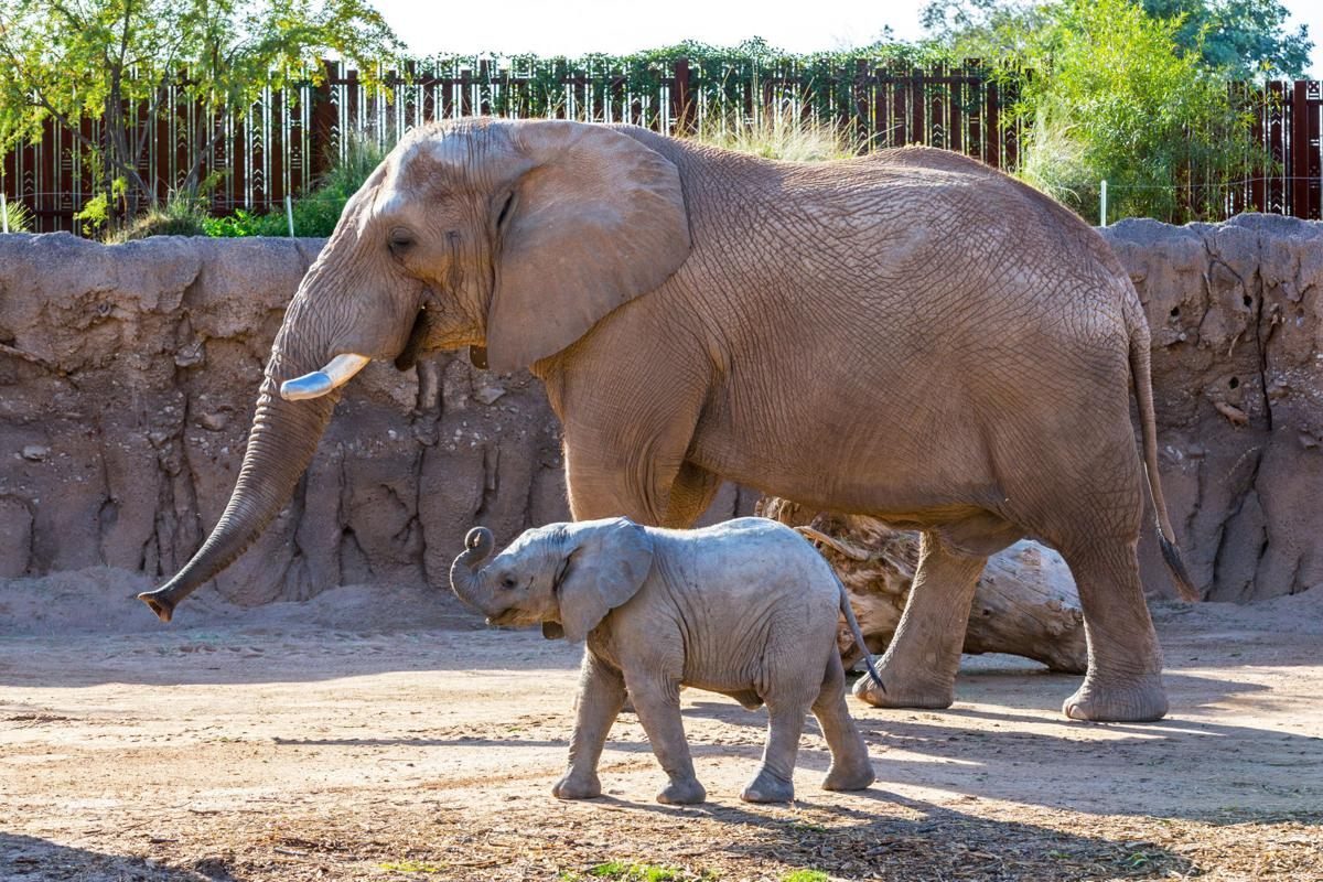 Tucson elephant packs his trunk for San Diego Zoo | Local ...