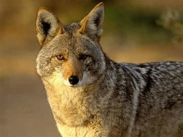 Coyote problems in Cochise