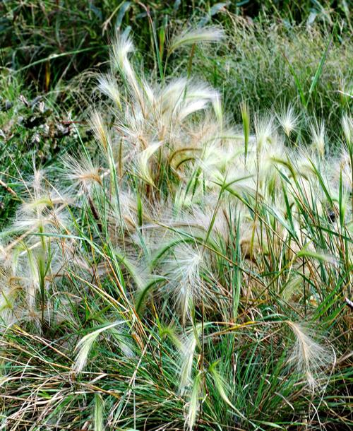 Foxtails pose hidden dangers to pets | Gardensage | tucson.com