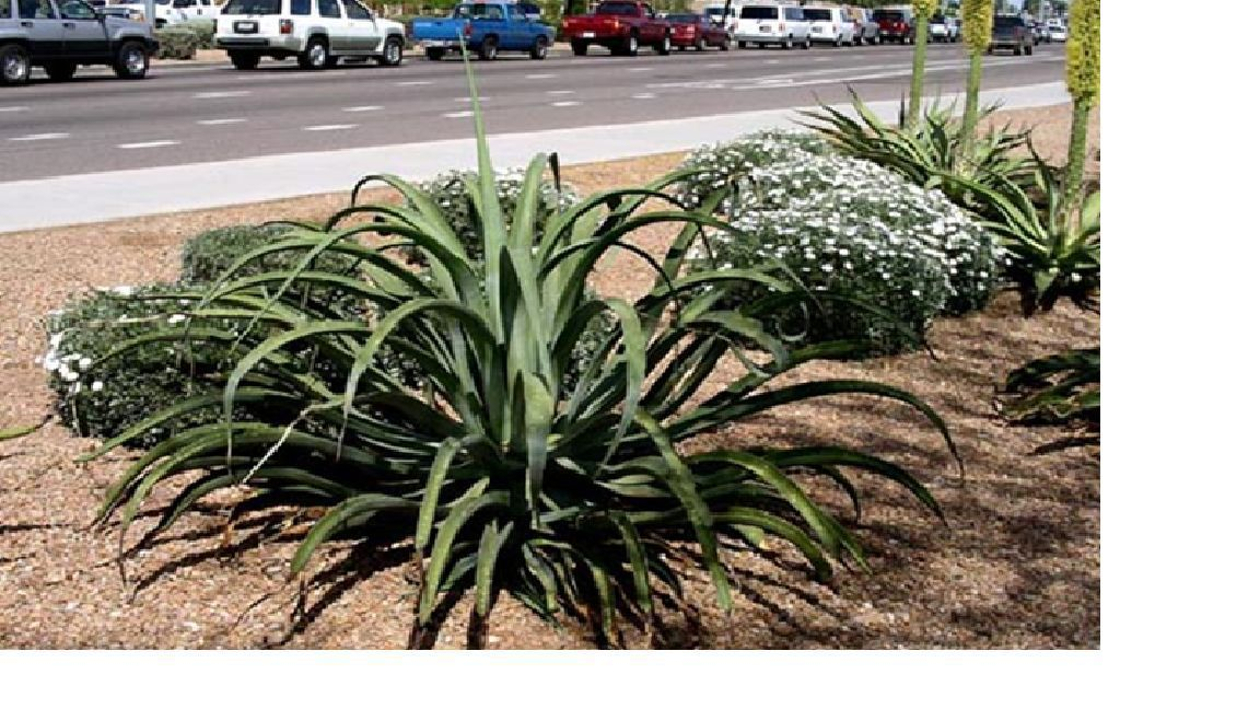 Agave Plant Giveaway