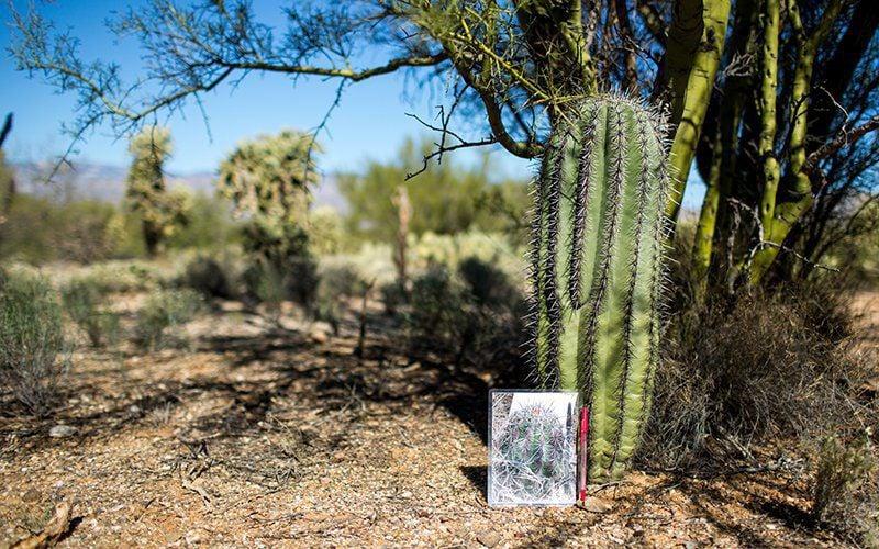 Saguaro drought