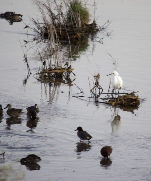 Ducks, bird-watchers flock to Santa Cruz