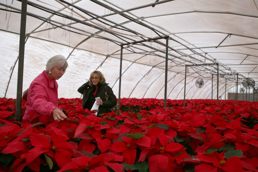 Caring year round for poinsettias