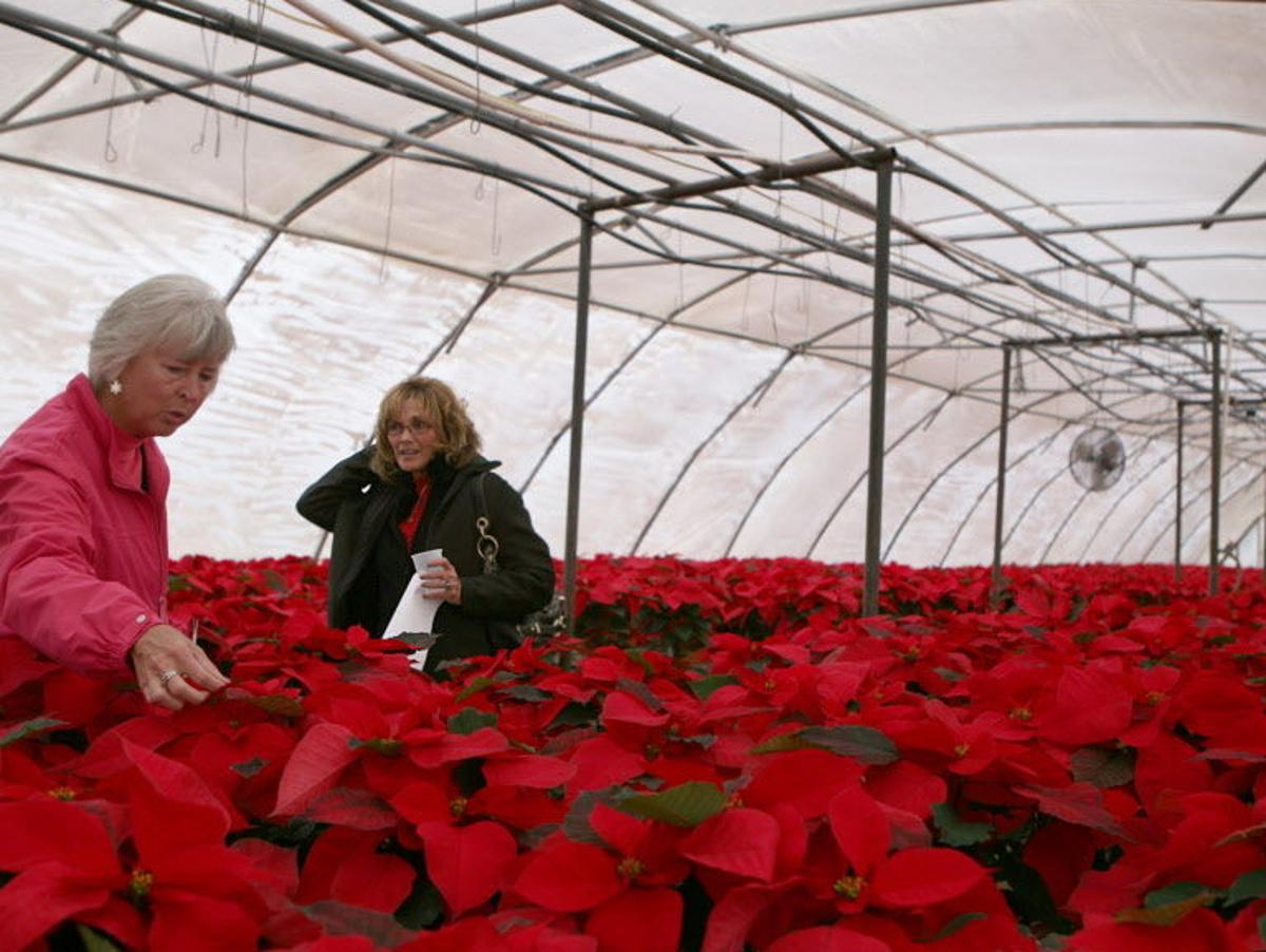 Caring For Poinsettias Year Round Tucson Gardens Tucson Com