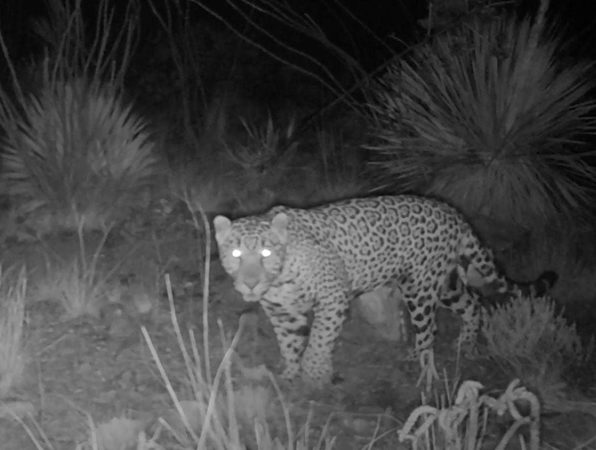 Jaguar seen south of border wall