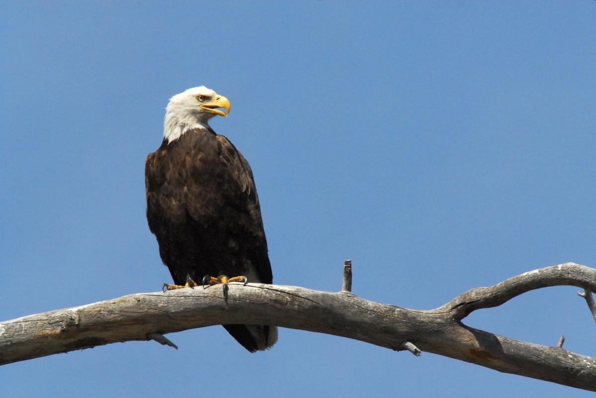 Bald eagles set breeding season records in arizona for Az game and fish phone number